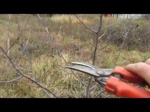 [ВИДЕО] Обрезка вишни: простые правила ухода
