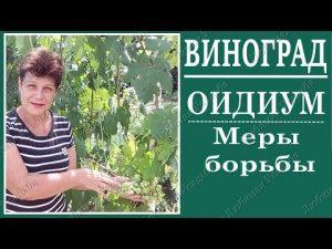[ВИДЕО] Оидиум — Лечение, Симптомы — Болезни винограда