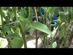 [ВИДЕО] Спасение огурцов от всех болезней