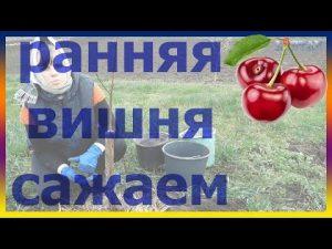 [ВИДЕО] Как правильно посадить вишню. Саженцы вишни