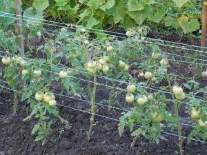 [ВИДЕО] Выращивание томатов в открытом грунте
