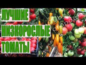[ВИДЕО] Самые урожайные низкорослые томаты