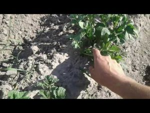 [ВИДЕО] Как не надо окучивать картофель?