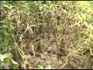 [ВИДЕО] Защита картофеля от фитофтороза