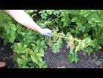[ВИДЕО] Желтеют листья на огурцах