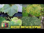 [ВИДЕО] Как вырастить рассаду огурцов