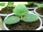 [ВИДЕО] Высаживаем огурцы в открытый грунт