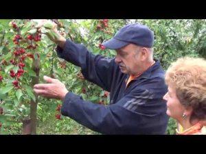 [ВИДЕО] Самые урожайные черешни. Сорта черешни для Средней полосы