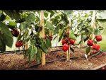 [ВИДЕО] Сорта баклажанов