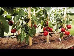 [ВИДЕО] Секреты по формированию перца