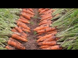 [ВИДЕО] Что точно нужно знать, чтобы вырастить урожайную морковь