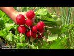 [ВИДЕО] Всё о дайконе. От посева до урожая