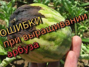 [ВИДЕО] Арбуз – главные ошибки при выращивании