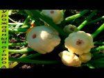 [ВИДЕО] Арбуз - главные ошибки при выращивании