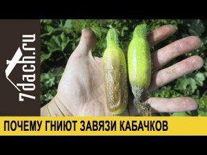 [ВИДЕО] Почему гниют завязи у кабачков