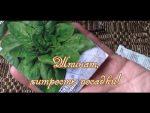 [ВИДЕО] Как правильно вырастить и использовать ревень