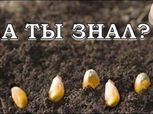 [ВИДЕО] Выращиваем кукурузу шаг за шагом