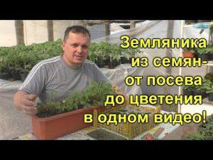 [ВИДЕО] Земляника из семян