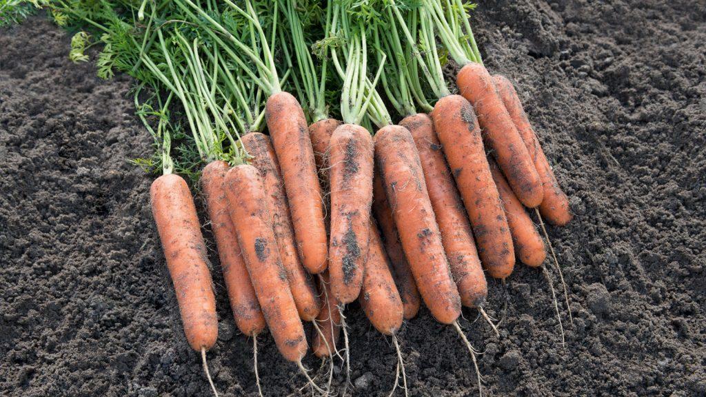 [Инструкция] Как сохранить урожай моркови: описание 12 способов хранения (Фото & Видео) +Отзывы