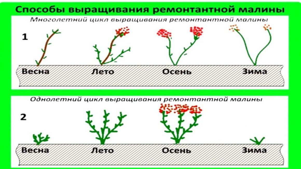 Разница между многолетним и однолетним циклами выращивания ремонтантной малины