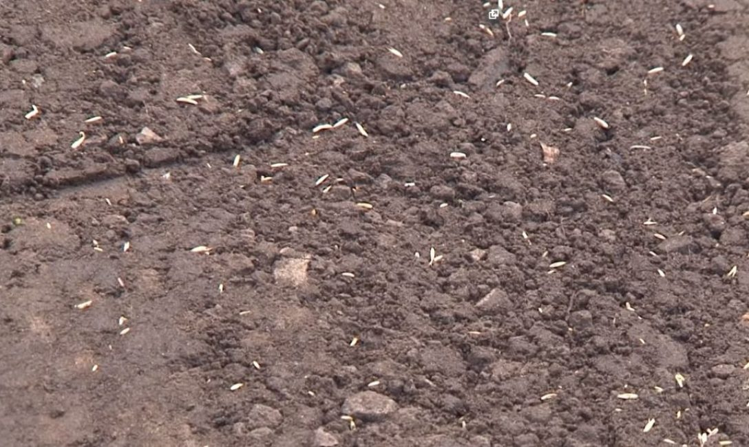 После уплотнения часть семян всё равно остаётся на поверхности
