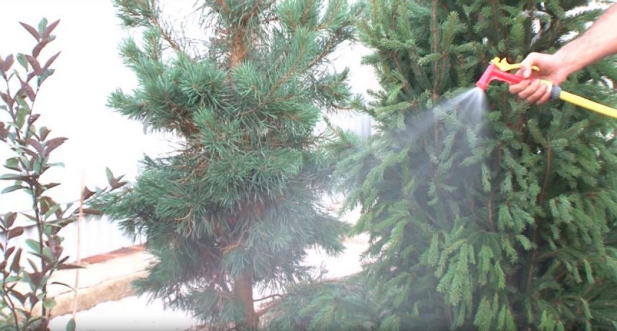 Увлажняют газон мелким дождеванием при помощи пульверизатора