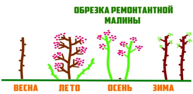 Двухлетний цикл выращивания ремонтантной малины