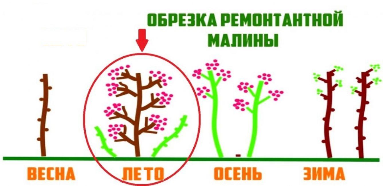 Одновременно с появлением урожая куст формирует дополнительные ветви