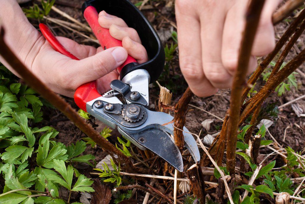 Как обрезать ремонтантную малину осенью