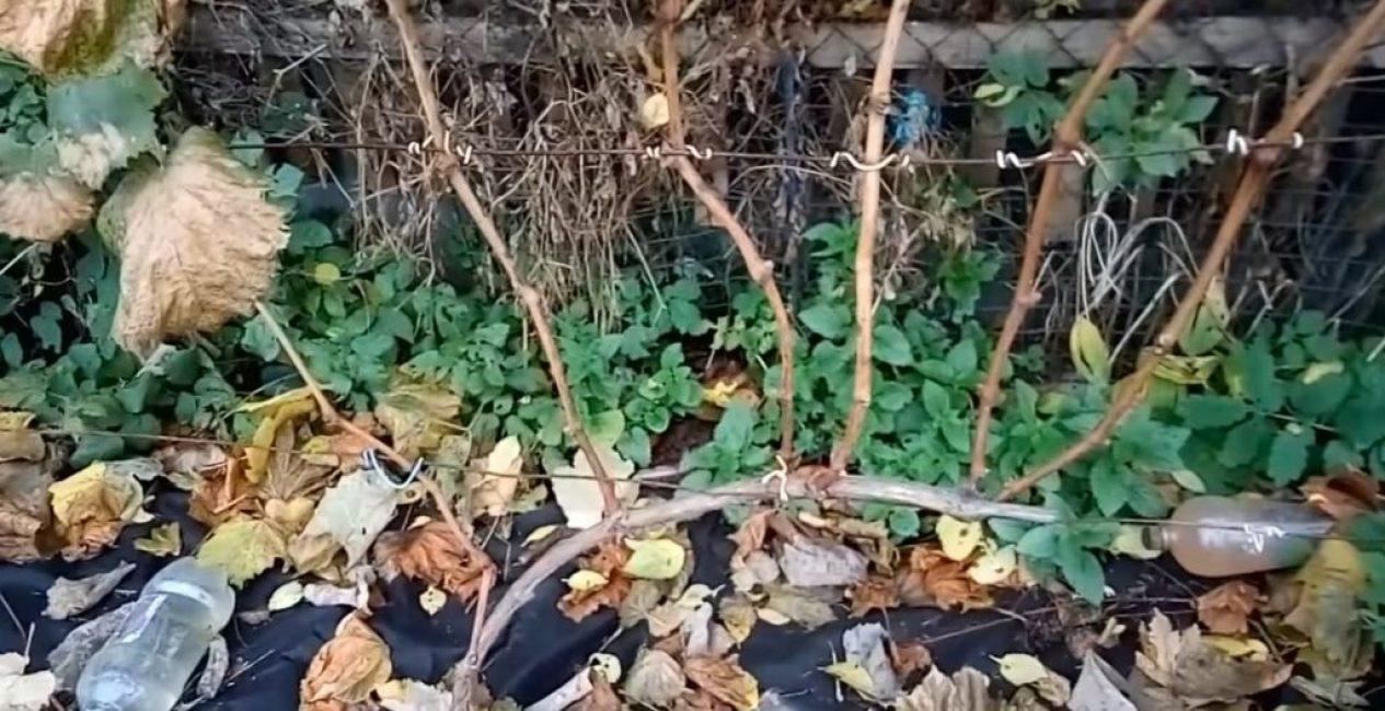 Правильно сформированный трёхлетний куст винограда