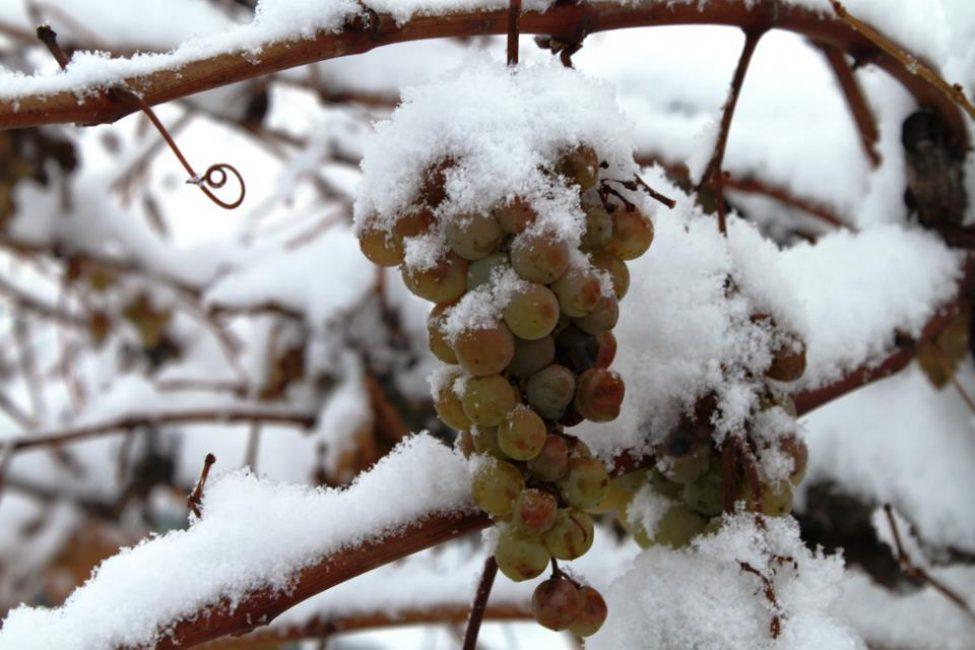 Перед укрытием виноград должен пройти закалку