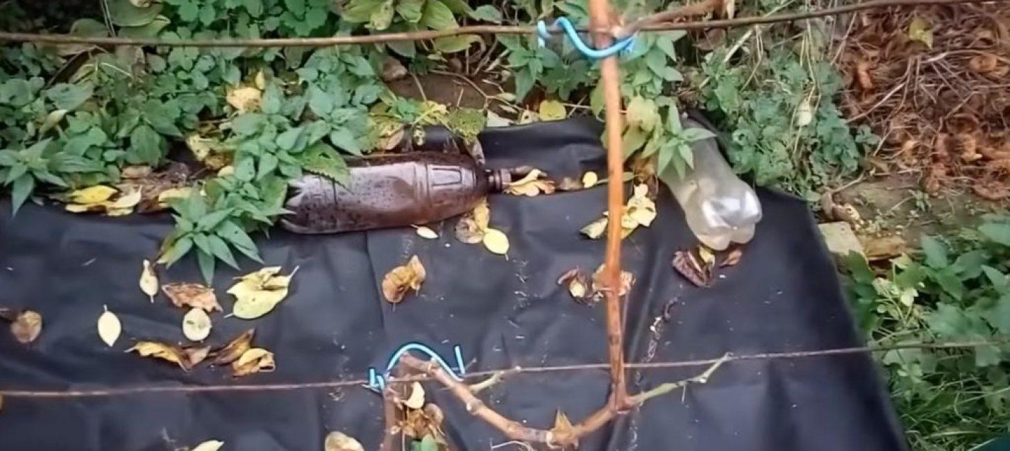 Однолетний куст винограда