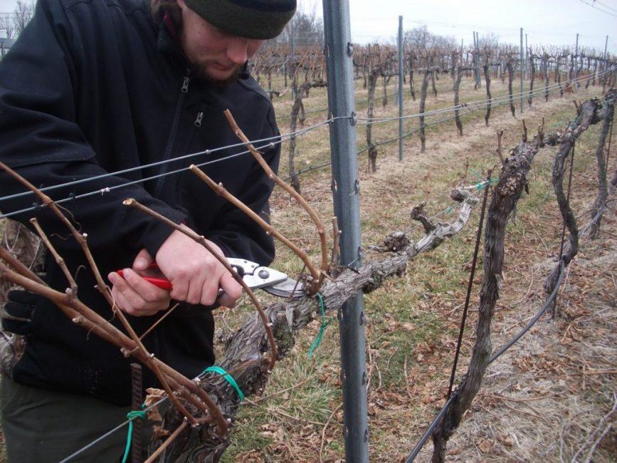 Процедура обрезки выполняется примерно за месяц до укрытия винограда