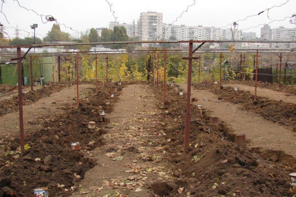 Укрытие винограда при помощи земли
