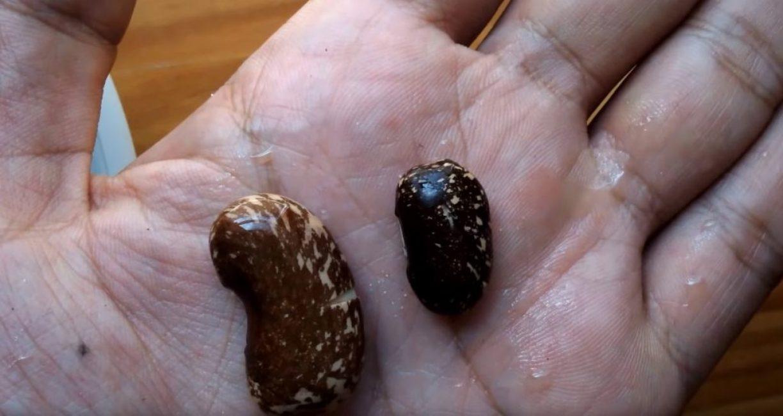 Семена начинают абсорбировать воду и их оболочка начинает лопаться