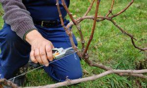 Как обрезать виноград: осенью и перед укрытием на зиму | Инструкция для начинающих садоводов, схемы | (Фото & Видео)