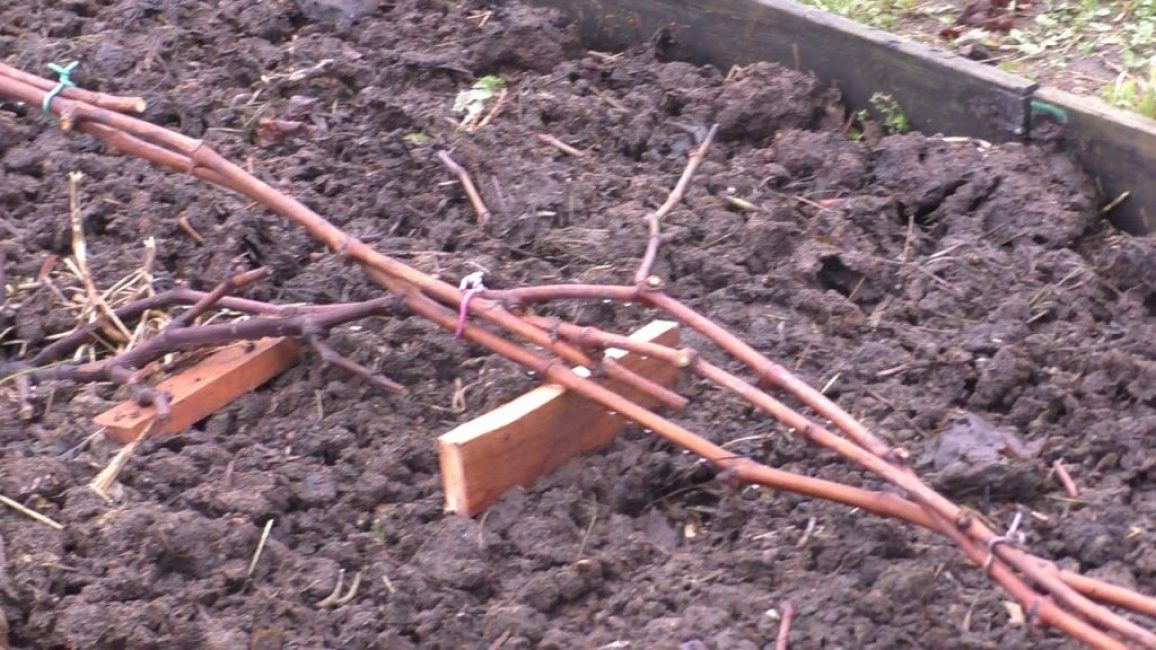 Подготовка лозы винограда к укрытию