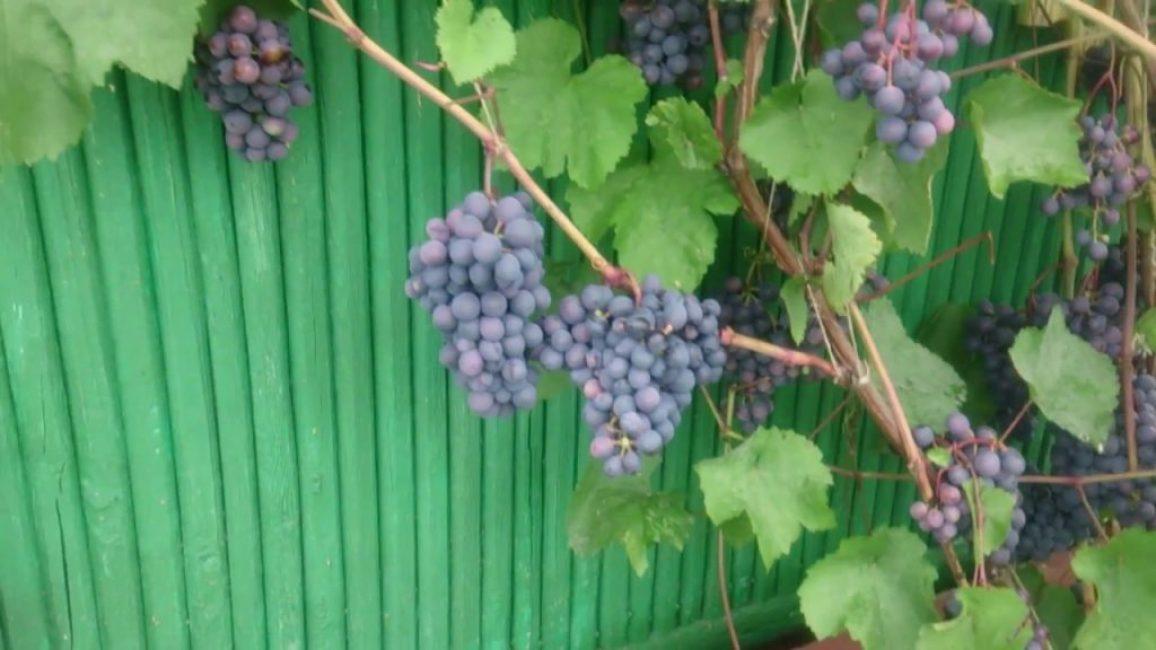 Виноград Агат Донской в средней полосе России