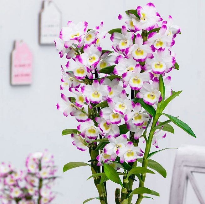 Непревзойденная красота Dendrobium nobile