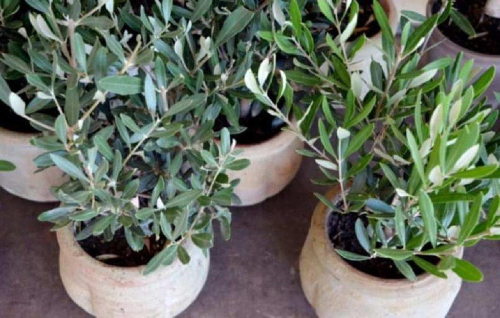 Двухлетние саженцы оливкового дерева