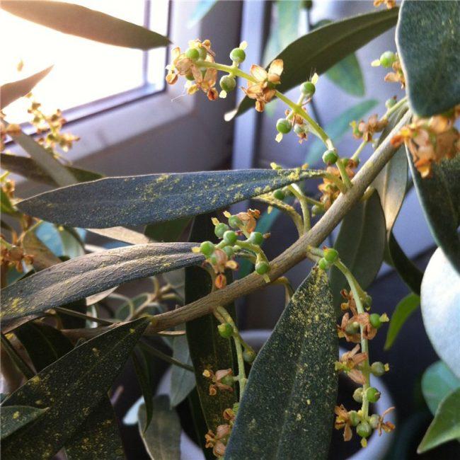 Завязавшиеся плоды растения