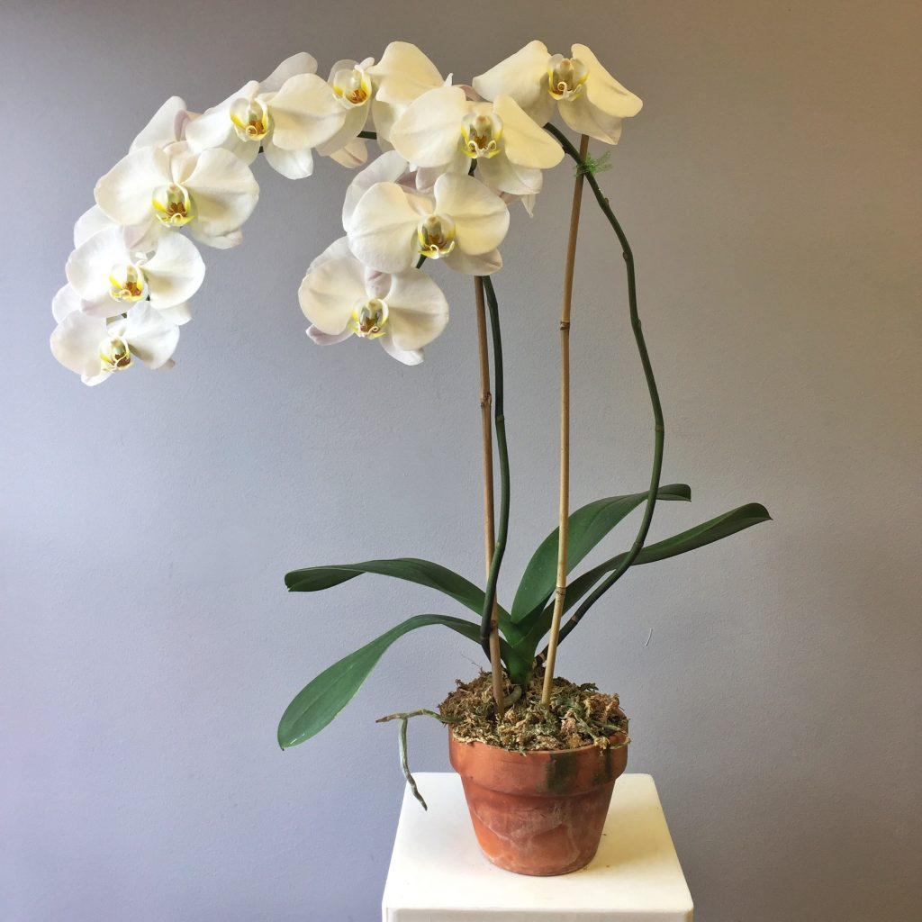 орхидея фаленопсис фото уход в домашних условиях вас так все