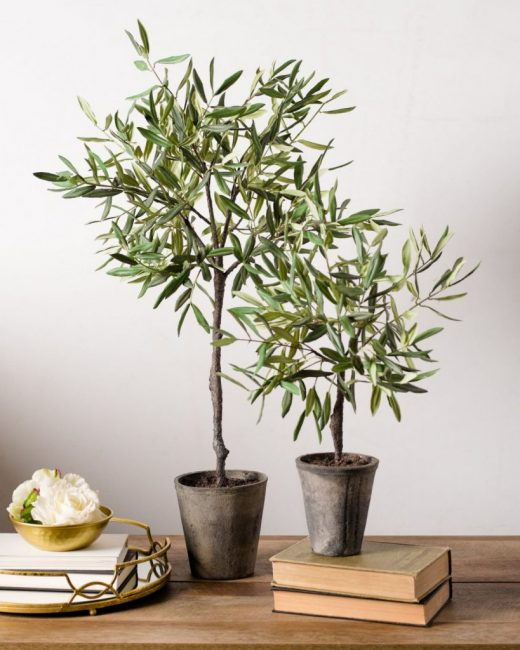 Оливковое дерево может быть выращено в условиях обыкновенной квартиры