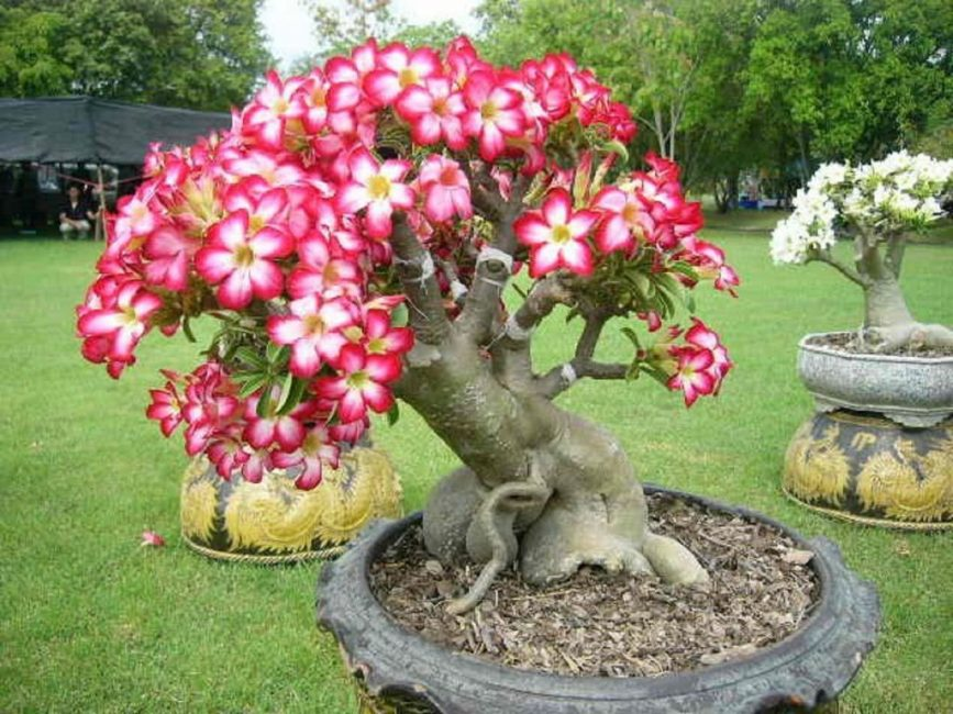 Адениум – прекрасное украшение сада в летнее время