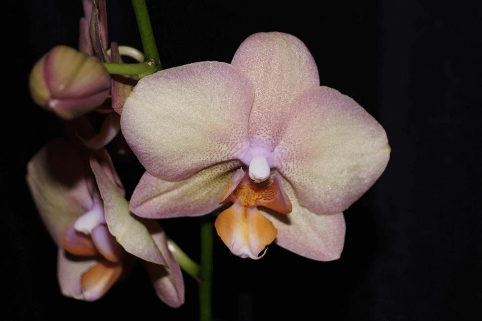 Phalaenopsis Legato