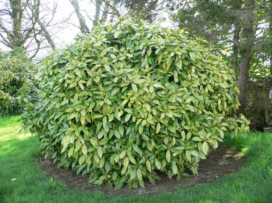 Разновидность аукубы для выращивания в саду