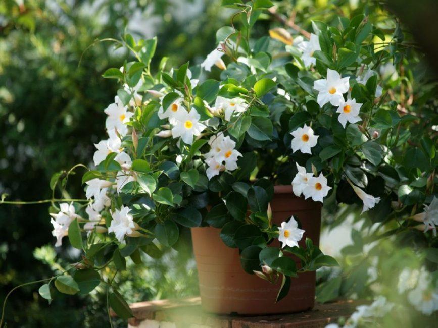 Южноамериканская красавица вся в цветении
