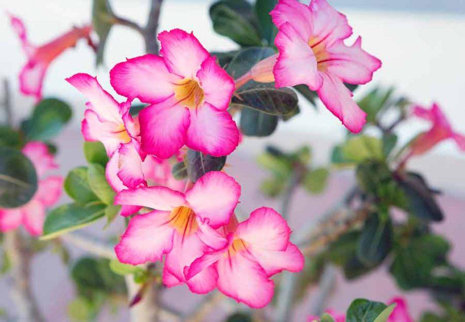 Обильное цветение зависит от правильного ухода