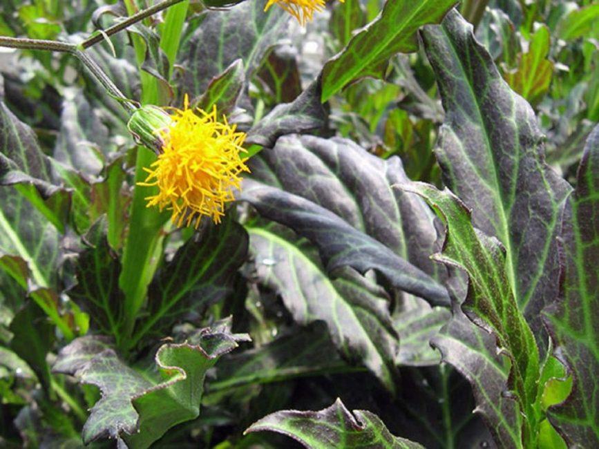 Желтые цветки эффектно смотрятся на фоне пурпурно-коричневой листвы