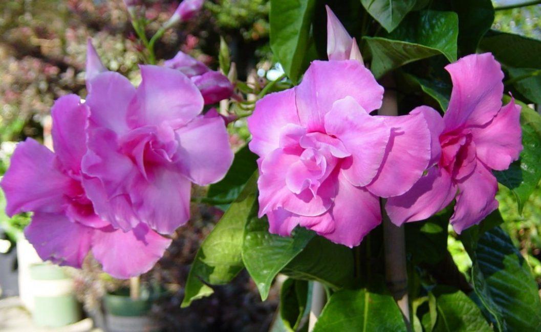 Сорт с насыщенными розовыми цветками